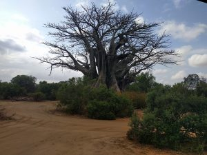 South Africa_Baobab small
