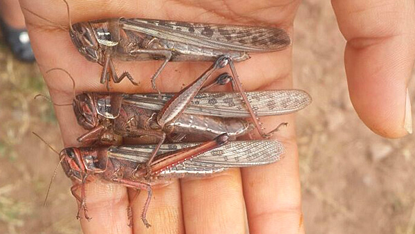 Locusts in hand