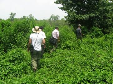 ASU researchers walk through community forests grasslands that have been invaded by Mikania micrantha