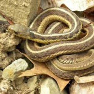 Coiled snake on bed of leaves
