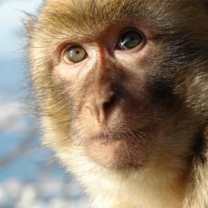 Barbary macaque endangered primate face close up