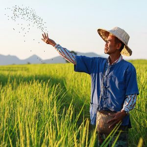 A farmer sprinkles fertilizer in a rice field at sunset