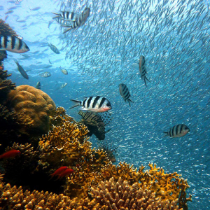 Underwater photograph showing coral reef and various fish