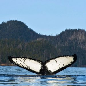 A whale fin flips above the water