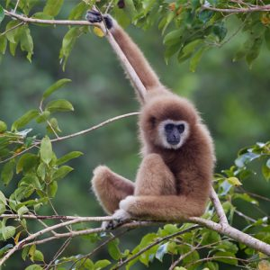 Lar gibbon in Laos resting on a tree branch