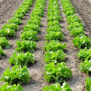 Rows of green lettuce in a field