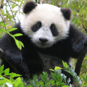 Close up of young panda bear